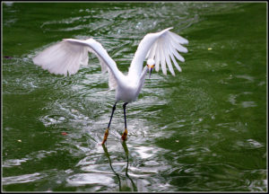 Snowy egret taking off against green lake