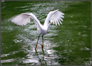 Snowy egret taking off against green lake