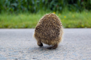 pygmy hedgehog from behind