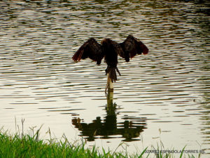 Bird with wings spread on post in lake