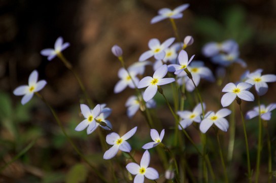 Pale blue flowers with yellow meters against an green blurry background
